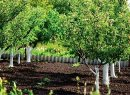 Можно ли сажать косточковые и семечковые деревья рядом?