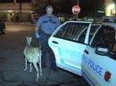 Полиция Америки нашла похищенную козу