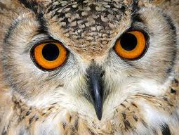 Почему сова видит ночью?