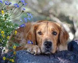 Что такое пироплазмоз, как его распознать у собак?