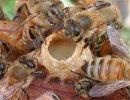Как живут пчелы?
