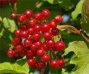 Чем полезны ягоды калины?