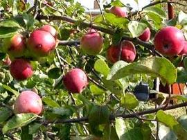 Какие работы проводятся в саду в конце сентября?
