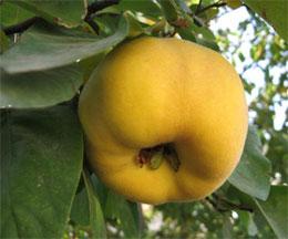 Как использовать плоды айвы?