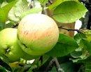 Как лечиться яблоками?