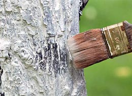Чем белить деревья?