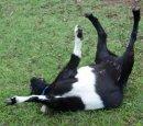 Почему козы падают в обморок?