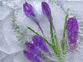 Ледяные цветы Киева