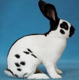 Какой он - кролик-бабочка?